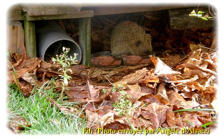 Herissons Hibernation Infos